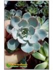 Эхеверия голубой принц (Echeveria Blue prince)