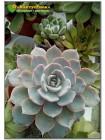 2 листовых черенка Эхеверия голубой принц (Echeveria Blue prince)