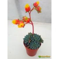 2 листовых черенка Эхеверия щетинистая (Echeveria setosa deminuta)