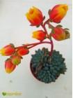 2 листовых черенка Эхеверия щетинистая (Echeveria setosa deminuta, эхеверия сетоза деминута)