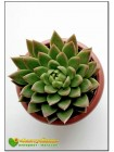 Эхеверия агавовидная (Echeveria agavoides)