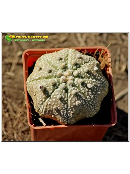 Культивар Астрофитума (Astrophytum asterias Miracle Kabuto)