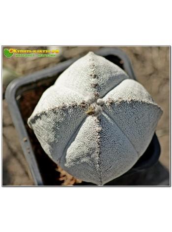 Культивар Астрофитума (Astrophytum myriostigma cv. 'Onzuka' 4-costatum)