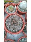 Астрофитум козерогий (Astrophytum capricorne, астрофитум каприкорне)