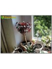Неукоренённый черенок Эониум древовидный Шварцкопф (Aeonium arboreum Zwartkop)