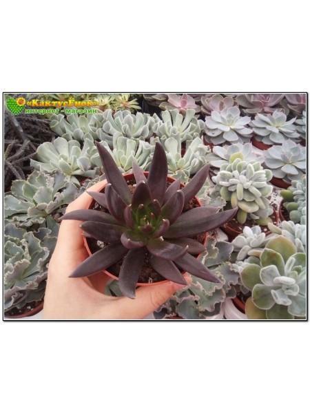 """2 листовых черенка Эхеверия аффинис """"Чёрный рыцарь""""  (Echeveria affinis 'Black Knight')"""