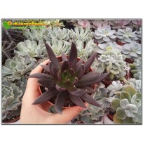 "2 листовых черенка Эхеверия аффинис ""Чёрный рыцарь""  (Echeveria affinis 'Black Knight')"