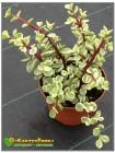 Черенок Портулакария афра пёстрая форма (Portulacaria afra f.variegata)