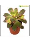 Черенок эониум декоративный триколор (aeonium decorum tricolor)