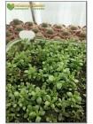 Крассула укореняющаяся (Crassula radicans (pubescens ssp. radicans), крассула радиканс)