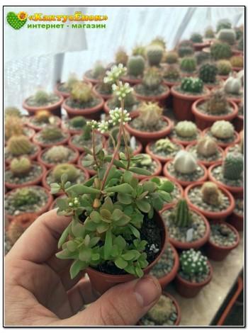 Крассула укореняющаяся (Crassula radicans (pubescens ssp. radicans))