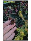 Черенок Очиток (седум) ложный 'Вуду' (Sedum spurium «Voodoo»)