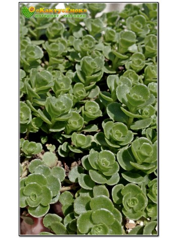 Два черенка очиток ложный (Sedum spurium, седум спуриум)