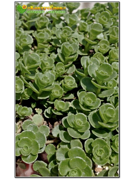 Черенок очиток ложный (Sedum spurium)