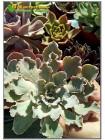 2 листовых черенка Эхеверия кудрявая (Echeveria shaviana)