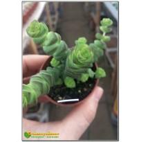 Черенок Крассула нильская, неалиана (Crassula nealiana 8056)