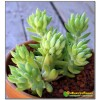 Очиток Моргана ( Sedum morganianum)