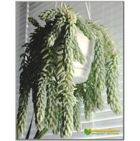 Несколько листовых черенка очиток Моргана ( Sedum morganianum)