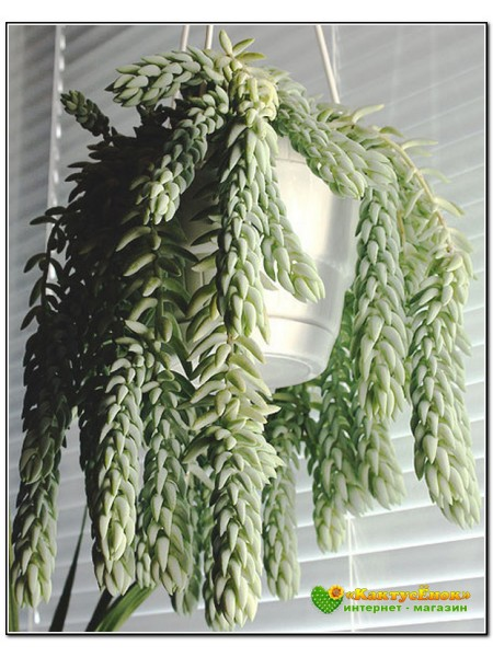 2 листовых черенка очиток Моргана ( Sedum morganianum)