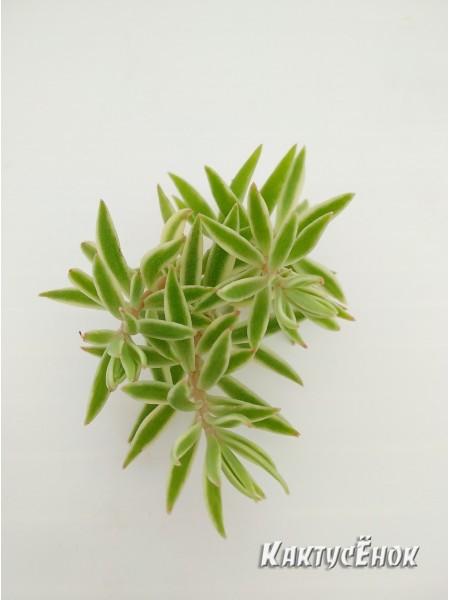 Два черенка очиток линейный (sedum lineare variegatum)