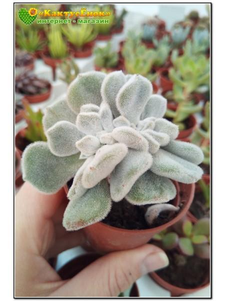 Эхеверия пульвината Фрости кристата (Echeveria pulvinata Frosty cristata)