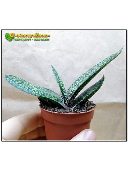 Гастерия пятнистая гладкая форма (Gasteria maculata)
