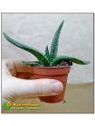 Гастерия пятнистая шершавый лист (Gasteria maculata, гастерия макулата)