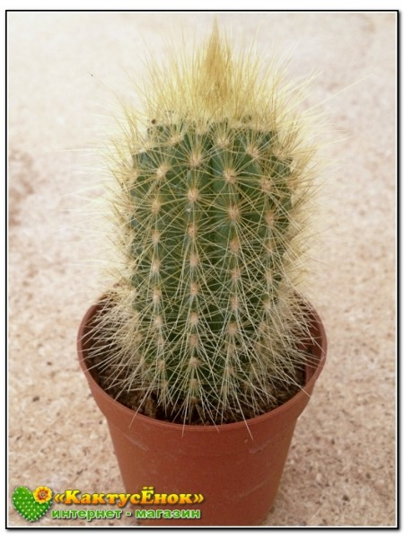 Вебербауэроцереус Джонсона (Weberbauerocereus johnsonii)