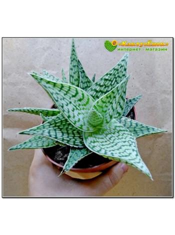 Алоэ Дорана Блека (Aloe rauhii cv. Doran Black)