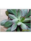 2 листовых черенка Эхеверия нодулоза (Echeveria nodulosa)