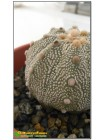 Астрофитум астериас супер кабуто (Astrophytum asterias «Super Kabuto»)