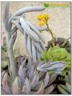 Один листовой черенок Эхеверия початковая (Echeveria unguiculata)