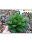 Хавортия гибридная (haworthia hybrid 1)