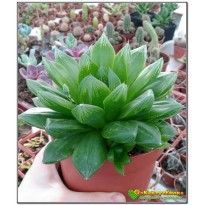 2 листовых черенка хавортия гибридная (haworthia hybrid 1)