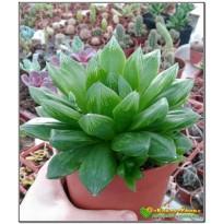 2 листовых черенка хавортия гибридная (haworthia hybrid 1)