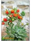 Эхеверия Сет оливер (Echeveria cv. Set Oliver)