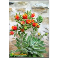 2 листовых черенка  Эхеверия Сет оливер (Echeveria cv. Set Oliver)