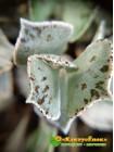 2 листовых черенка Каланхоэ ромболистное (Kalanchoe rhombopilosa, каланхоэ ромбопилоза)