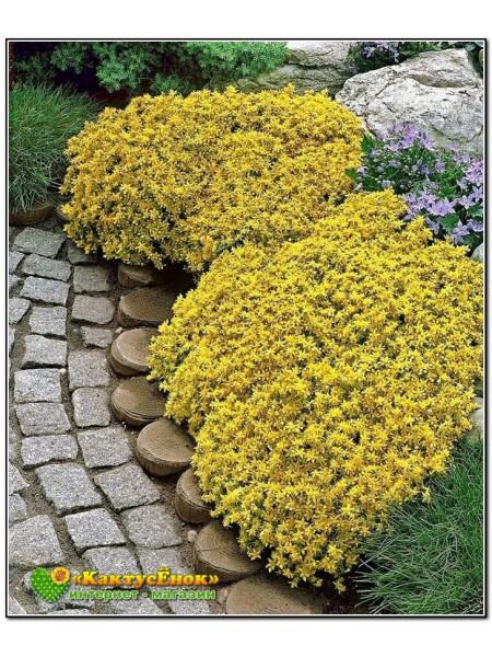 """Несколько черенков Очиток """"жёлтая королева"""" (Sedum acre Yellow Queen)"""