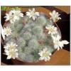 Айлостера белоцветковая (Aylostera albiflora, айлостера альбифлора)