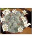 Айлостера белоцветковая (Aylostera albiflora)