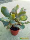 Черенок крассула ундулатифолия (C. arborescens undulatifolia)