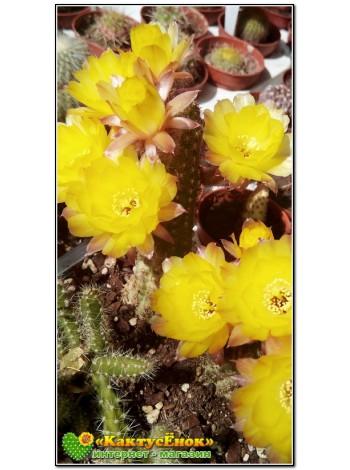 Хамеолобивия (Chamaelobivia). Желтый