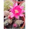 Хамеолобивия (Chamaelobivia). Розовый
