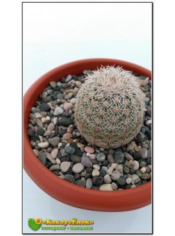 Эхиноцереус гребенчатый (Echinocereus pectinatus cumbres de Majalca)