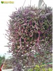 Черенок Оттона мясистая (othonna capensis 'ruby necklace')