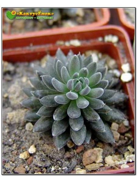 2 листовых черенка Синокрассула юннаньская (Sinocrassula yunnanensis)