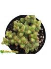 Черенок Толстянка наскальная (Crassula rupestris v. monticola)