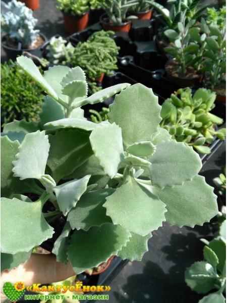 2 листовых черенка Каланхоэ Миллота (Kalanchoe millotii)
