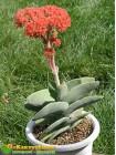 Листовой черенок Крассула серповидная (Crassula falcata)